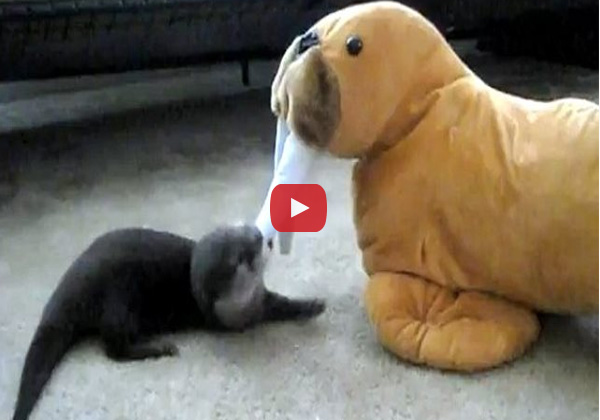 Baby Otter Fenway vs Stuffed Walrus